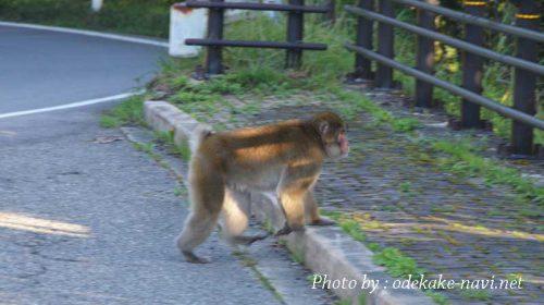 日光いろは坂の野生の猿