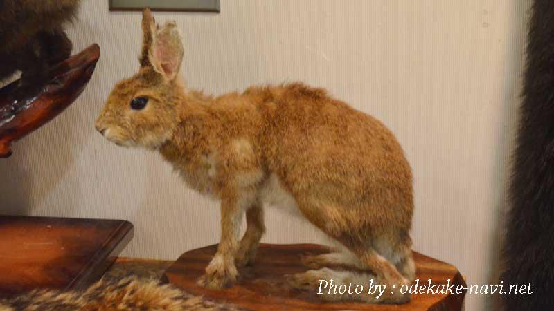 野ウサギの剥製