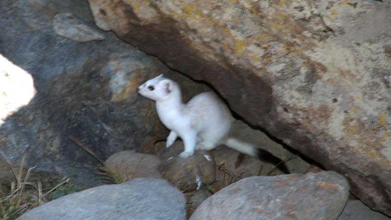 オコジョさん・イタチさん – 時々出会える動物たち