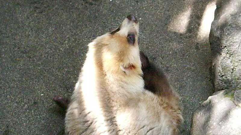 アナグマさん - 時々出会える動物たち
