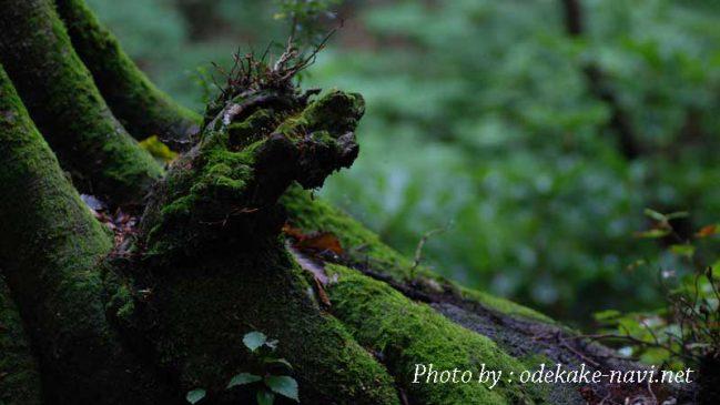 獅子ヶ鼻湿原のブナの木