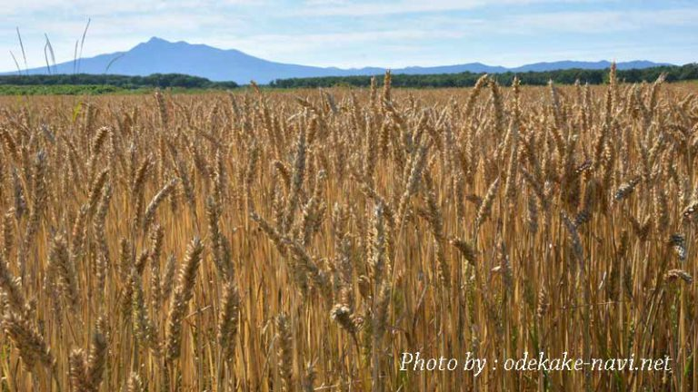 麦畑と斜里岳
