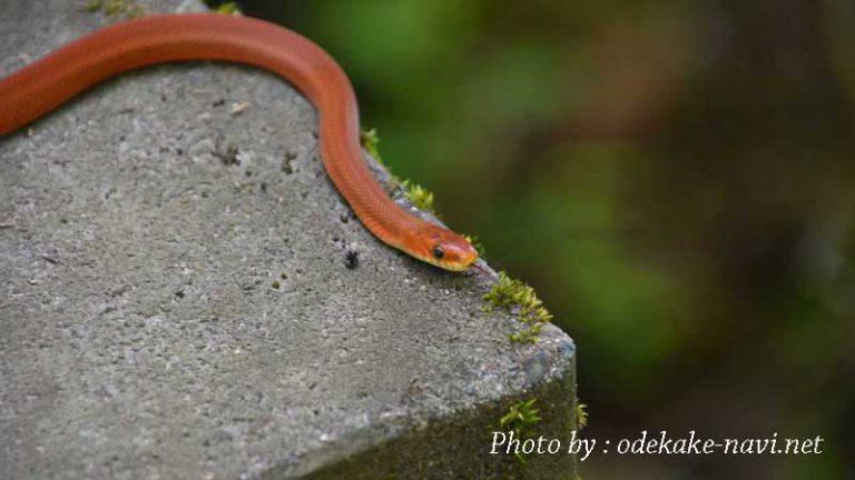 小さな赤いヘビ