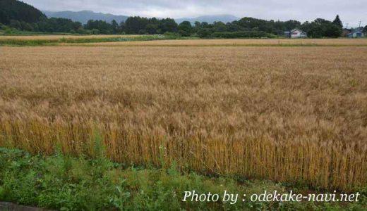 北海道の小麦畑