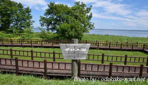 サロマ湖芭露の水芭蕉群生地